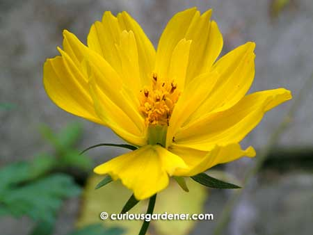 The yellow cosmos flower the curious gardener the yellow cosmos flower mightylinksfo