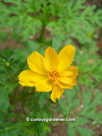 The yellow cosmos flower the curious gardener pretty mightylinksfo