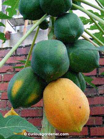 The Biggest Red Lady Papaya The Curious Gardener