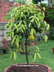 Grow, mangosteen tree, grow… | The Curious Gardener